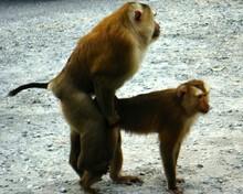 Monkeys Mating On Field