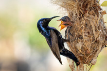 Image Of Purple Sunbird (Male) Feeding Baby Bird In The Bird's Nest On Nature Background. (Cinnyris Asiaticus). Bird. Animals.