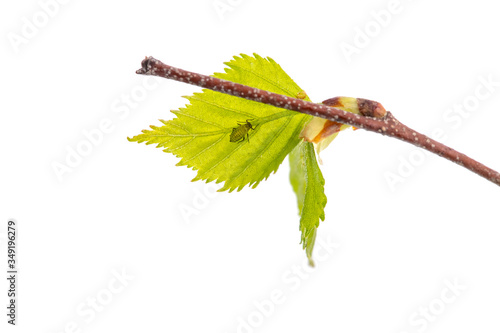 Aphid On Leaf On Branch Isolated On White Background Close-up. Canvas Print