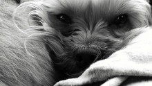 Close-up Portrait Of Yorkshire Terrier Relaxing At Home