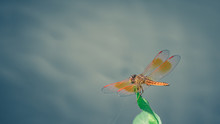 Orange Dragonfly Insect