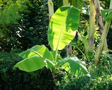 Banana Tree Growing In Yard