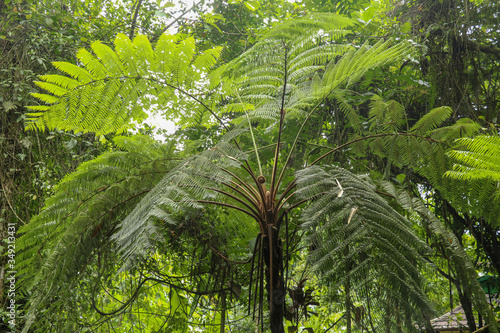 Photo Crown of tropical tree Cyathea Arborea. Close up of branches of
