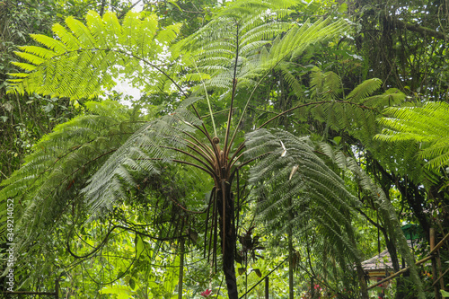 Crown of tropical tree Cyathea Arborea. Close up of branches of Canvas Print