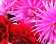 canvas print picture - Close-up Of Red And Pink Flowers