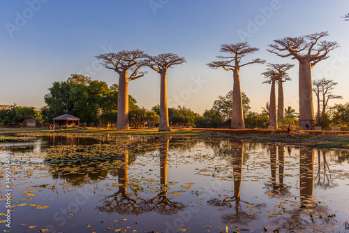 Foto Beautiful Baobab trees at sunset at the avenue of the baobabs in Madagascar