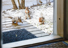 A Flock Of Red Squirrels In Th...