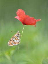 A Poppy Flower Like An Umbrella, Portrait Of Spotted Fritillary (Melitaea Didyma)