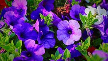 Close-up Of Purple Petunia Flowers In Garden