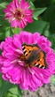 canvas print picture - Close-up Of Butterfly Pollinating On Pink Zinnia