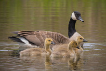 Mother Canada Goose And Babies...