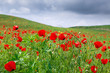 Red poppies beautiful flowering meadow with poppies on a background of blue sky. Beautiful spring and summer natural background. Tourism and travel