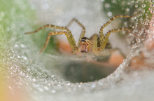 Agelenopsis, Commonly Known As The American Grass Spiders, Is Genus Of Funnel Weavers First Described By C. G. Giebel In 1869.[1] They Weave Sheet Webs That Have A Funnel Shelter On One Edge. The Web