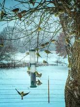 American Goldfinch Feeding On ...