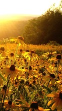 Black-eyed Susan Blooming On Field Against Sky During Sunset