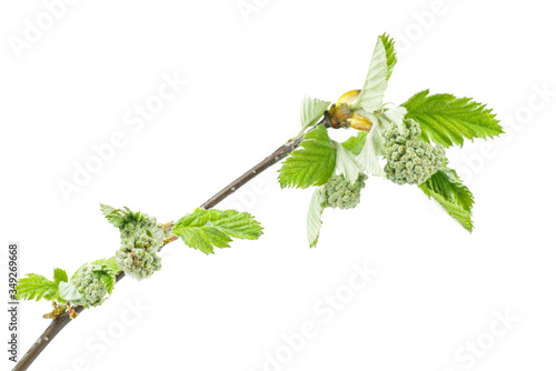 Photo Branch of young spring garden rowan isolated on white background