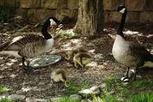 Mama Goose And Baby Geese Look...