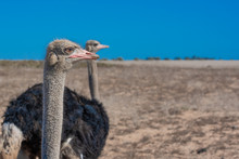 Close Up Portrait Of Ostrich P...
