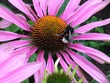 canvas print picture - Bee On Pink Flower