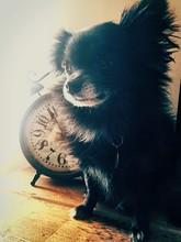 Pomchi Sitting On Table By Alarm Clock
