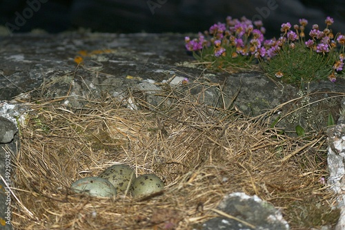Fototapeta Close-up Of Birds Nest With Three Eggs On Ground obraz