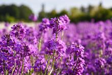 Purple Wallflower In The Field