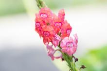 Macro Shot Of Pink Verbena Flowers Ina Garden