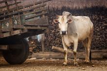 Cow In Chitwan National Park, Nepal.