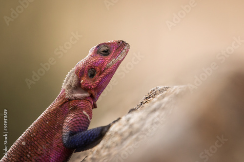 Colorful agama reptile during safari in National Park of Serengeti, Tanzania Canvas Print