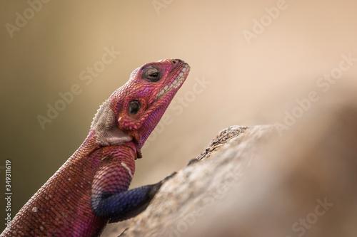 Photo Colorful agama reptile during safari in National Park of Serengeti, Tanzania