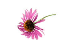 Purple Coneflower Isolated On ...