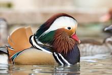 Male Mandarin Duck (Aix Galeri...