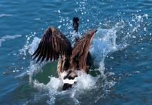Canada Goose Water Landing
