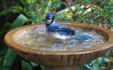 Looking Down At A Blue Jay Bird Enjoying Bathing And Shaking The Water Off In A Garden Bird Bath.