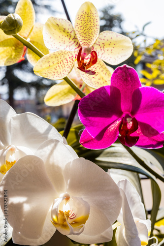 Three beautiful orchid flowers: one yellow with red dots, one white and one purple. Macro photograph of flowers detail. Magnification, enlargement, blow-up, close up. Sun, spring, summer.