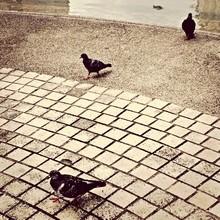 Pigeons Walking On Cobblestone...