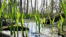 Reeds Growing In Water