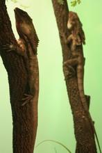 Lizards On Tree Trunk