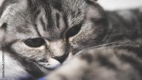 Cuadros en Lienzo healthy cat plays paw in the camera lens