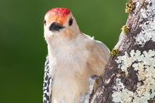 Curious Red-Bellied Woodpecker...