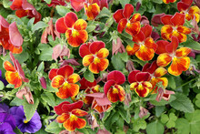 Yellow-red Wild Pansy Also Kno...