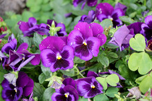 Purple Wild Pansy Also Known A...