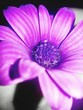 canvas print picture - Close-up Of Purple Daisy