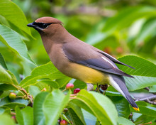 Cedar Waxwing Bird In A Tree Feeding On Berries