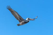 Pelican Bird In Flight, Cuba