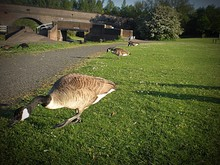 Canadian Geese On Grassy Field