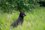 Fototapeta Zwierzęta - Nasłuchiwanie
