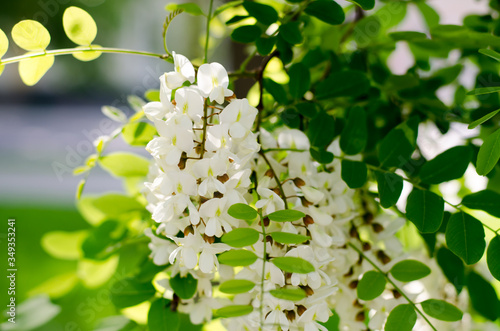 Blooming Acacia Canvas Print