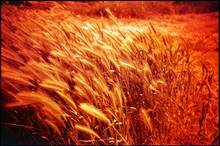Golden Crops Bended By Wind