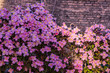 canvas print picture - Pink clematis Montana on fence, closeup